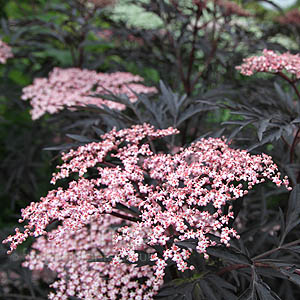 Sambucus nigra - 'Eva' (Purple Leaved Elder)