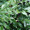 Sarcococca confusa - Sweet Box
