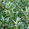 Sarcococca ruscifolia - Dragons Gate - Christmas Box, Sweet Box