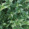 Sarcococca hookeriana - Sweet Box, Christmas Box
