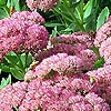 Sedum - Autumn Joy - Stonecrop