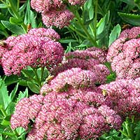 Sedum - 'Autumn Joy' (Stonecrop)