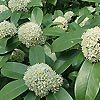 Skimmia - Fragrant Cloud - Skimmia