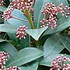 Skimmia Japonica - click for full details