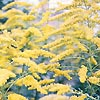 Solidago - Golden Wings - Golden rod