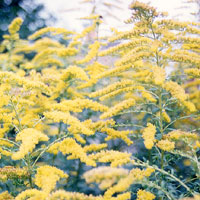 Solidago - 'Golden Wings' (Golden Rod)