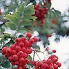 Sorbus aucuparia - Mountain Ash