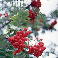 Sorbus aucuparia (Mountain Ash)