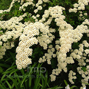 Spiraea nipponica - 'Snowmound' (Bridal Wreath, Spiraea)