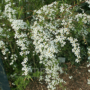 Spiraea thunbergii (Bridal Wreath, Spiraea)