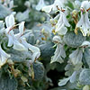 Stachys candida