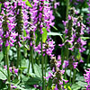 Stachys officinalis - Hummelo - Betony
