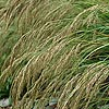 Stipa calamagrostis - Feather Grass, Stipa
