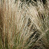 Stipa tenuissima - Wavy Hair grass, Stipa