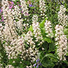 Tiarella - Tiger Stripe - Foam Flower, Tiarella