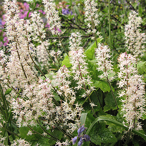 Tiarella - 'Tiger Stripe' (Foam Flower, Tiarella)