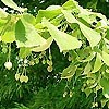 Tilia platyphyllos - Broad leaved lime