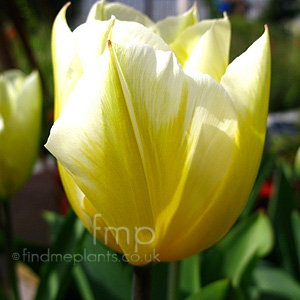 Tulipa - 'Sweetheart'