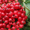 Viburnum lanata - Way faring Tree