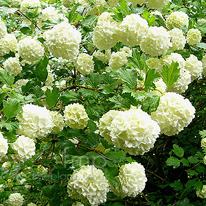 Viburnum un profumato arbusto il potatore for Arbusti profumati da giardino