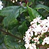 Viburnum tinus - click for full details