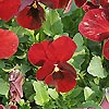 Viola - Jewel Red