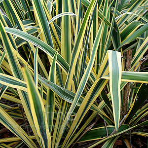 Yucca filamentosa - 'Bright Edge' (Adam's Needle)
