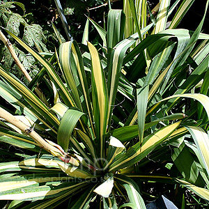 Yucca - 'Garlands Gold'