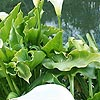 Zantedeschia aethiopica - Crowborough - Arum Lily