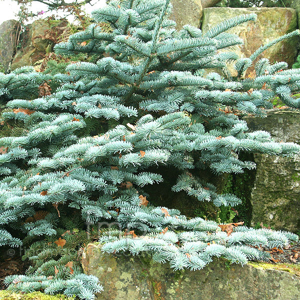 abies procera 39 glauca prostata 39 blue fur information. Black Bedroom Furniture Sets. Home Design Ideas
