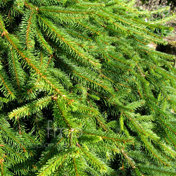Big Photo of Picea Abies, Leaf Close-up