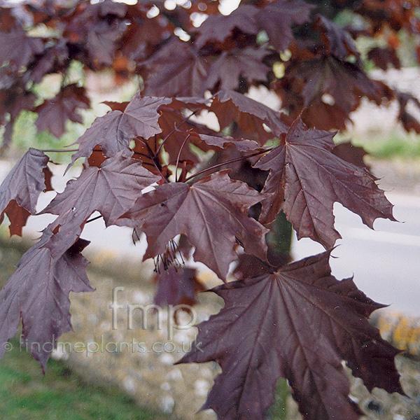 Acer Platanoides Crimson King Purple Norway Maple - Norway maple crimson king