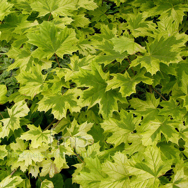 Acer platanoides 39 drummondii 39 information pictures - Arce platanoide ...