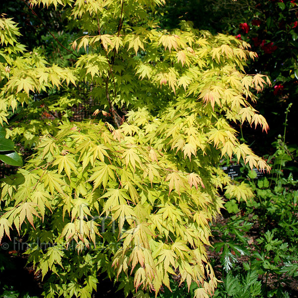 Big Photo of Acer  Palmatum