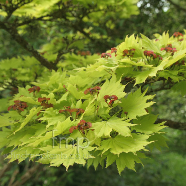 acer shirasawanum aureum golden leafed japanese maple information pictures cultivation tips. Black Bedroom Furniture Sets. Home Design Ideas