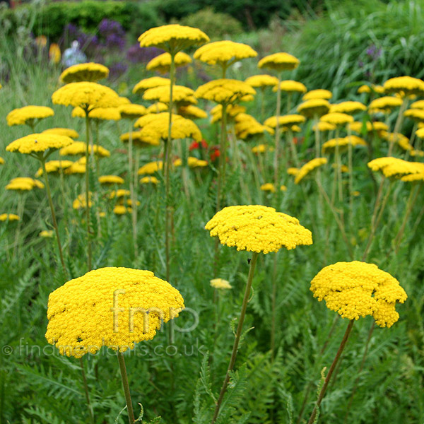 Big Photo of Achillea