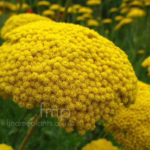 Big Photo of Achillea , Flower Close-up