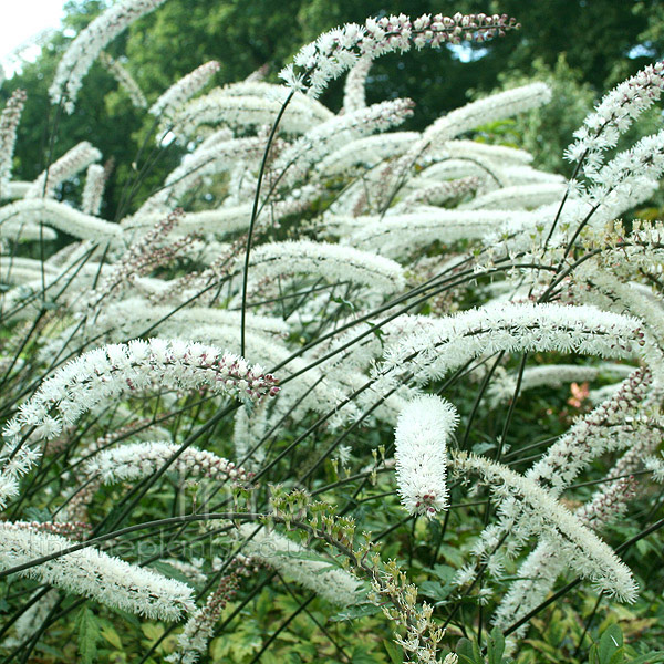 Big Photo of Actaea Matsumurae