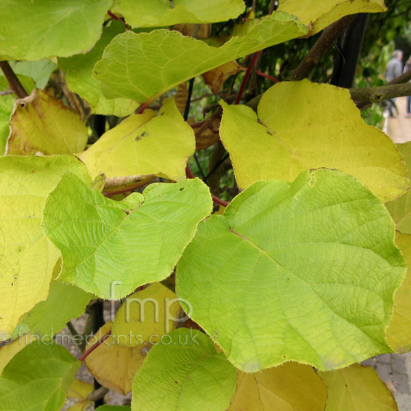 Big Photo of Actinidia Deliciosa, Leaf Close-up