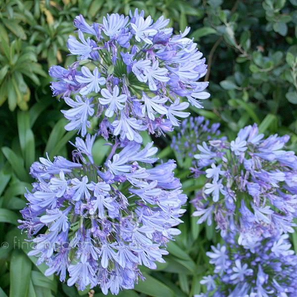 Big Photo of Agapanthus Africanus