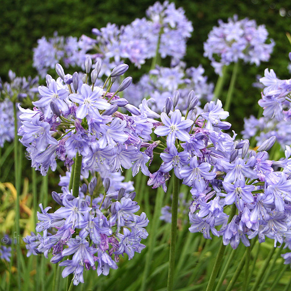 Big Photo of Agapanthus Kingstone Blue