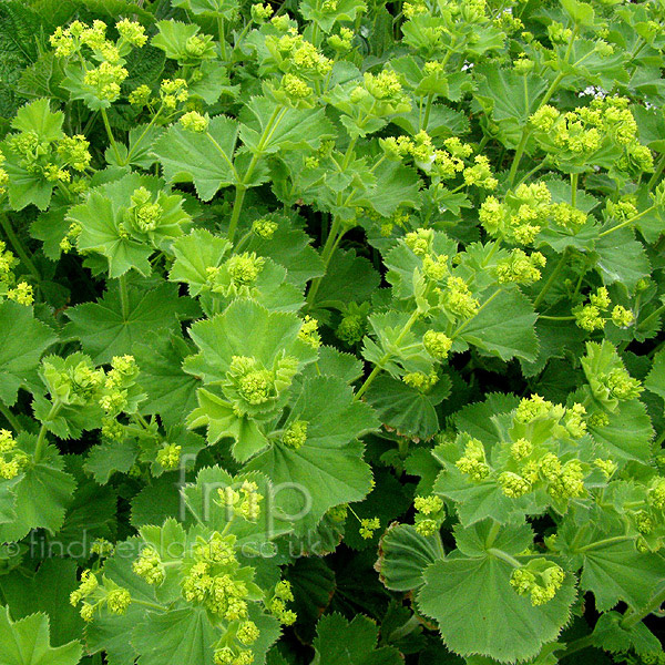 alchemilla mollis ladies mantle alcemilla information pictures cultivation tips. Black Bedroom Furniture Sets. Home Design Ideas