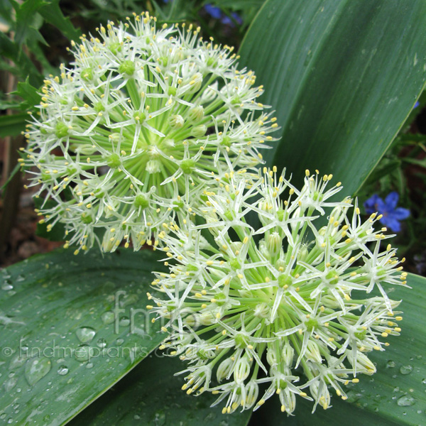Big Photo of Allium Karataviense, Flower Close-up