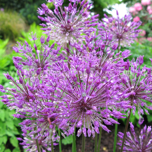 Big Photo of Allium