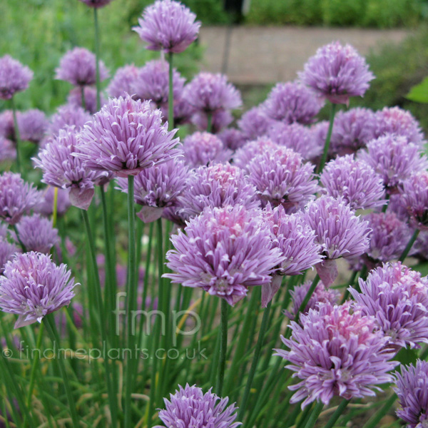 Big Photo of Allium Schoenoprasum, Flower Close-up