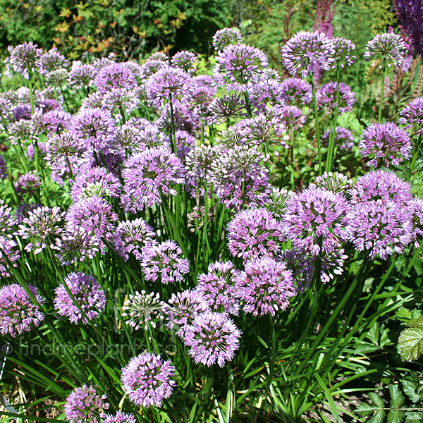 Big Photo of Allium  Nutans