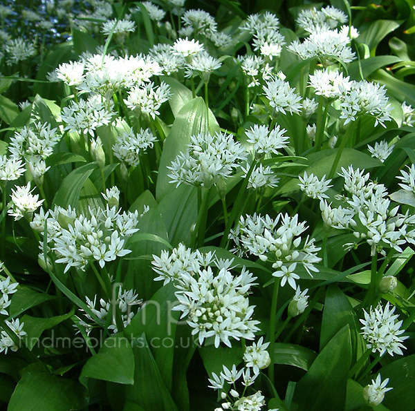 allium ursinum wild garlic allium information. Black Bedroom Furniture Sets. Home Design Ideas