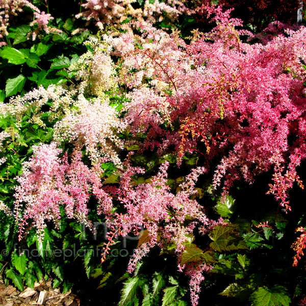 Big Photo of Astilbe