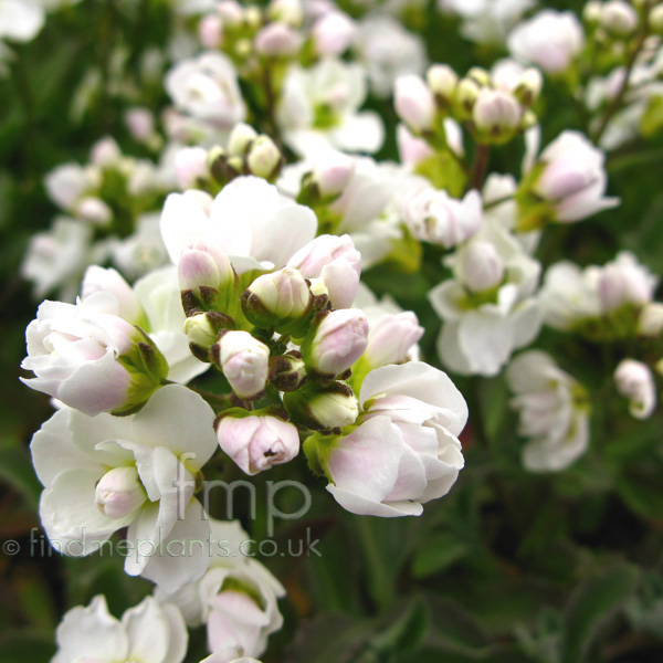 Big Photo of Arabis Alpina, Flower Close-up
