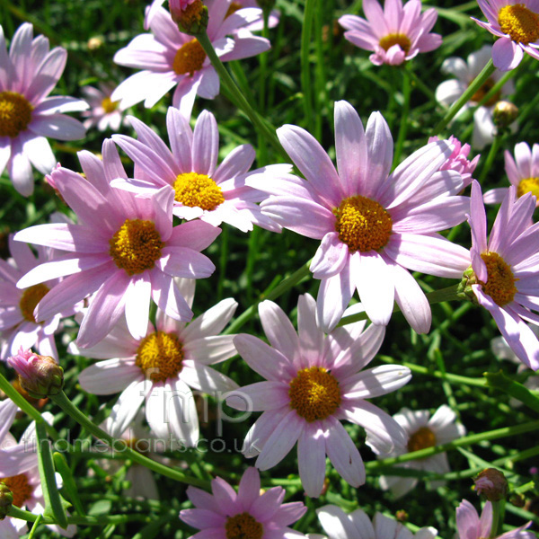 Big Photo of Argyranthemum , Flower Close-up
